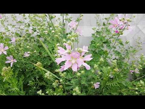 Мальва - цветок макушки лета