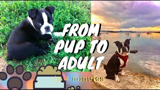 watch my boston terrier grow up in 4 minutes