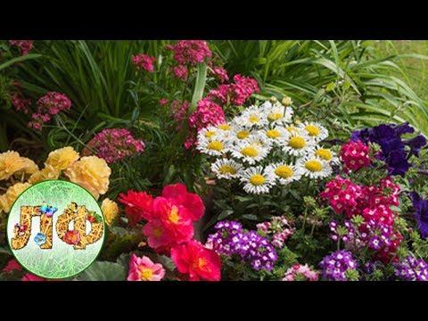 Посадка многолетних цветов в августе.
