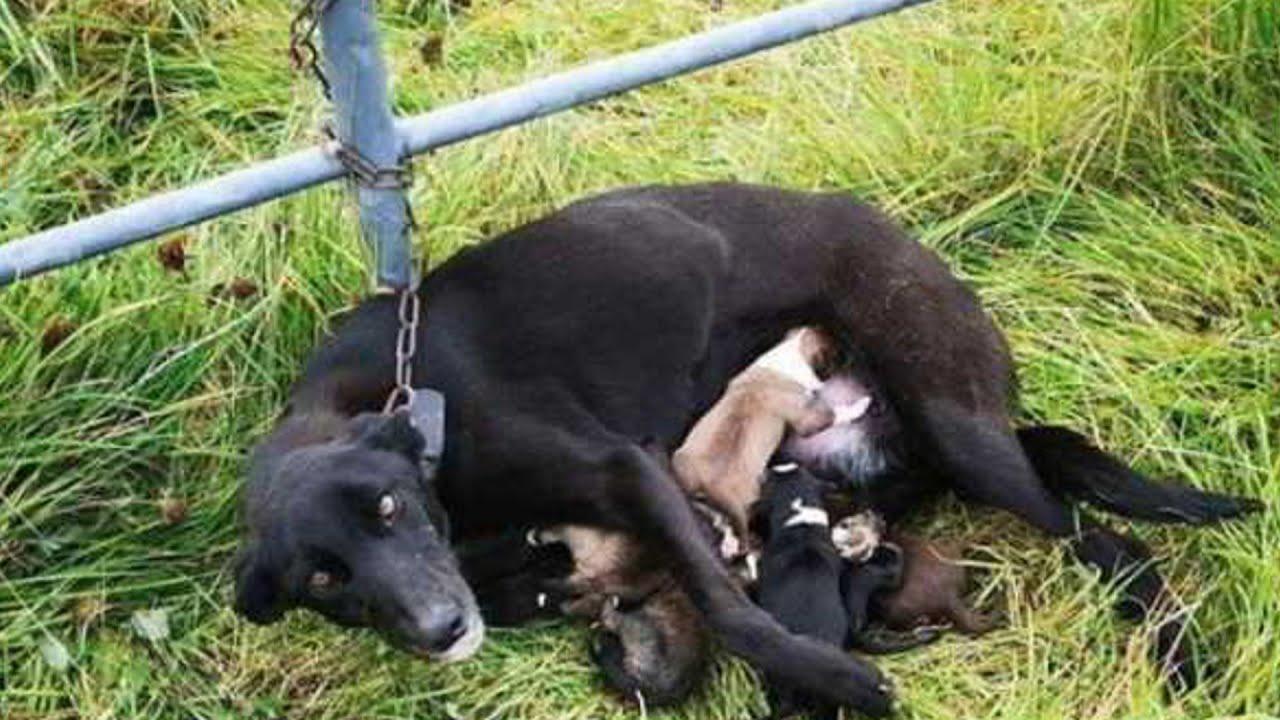 Кормящая мама-собака была прикована цепью к забору со ...