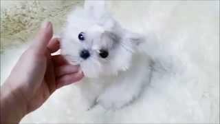 Baby Love~ Teacup Maltese baby girl ~
