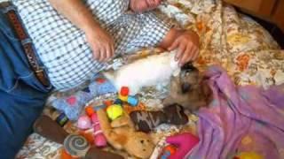 Chihuahua Puppies Janey Pups 3 23 11.wmv