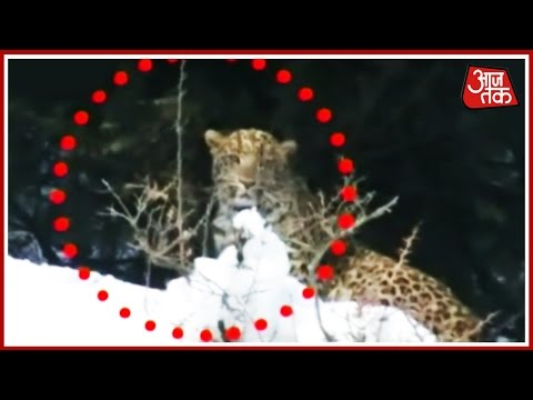Leopard Caught On Camera In Jammu Kashmir Anantnag More To Residential Area