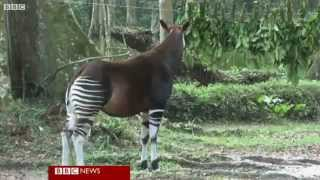 Okapis and conservationists killed by Congo rebels