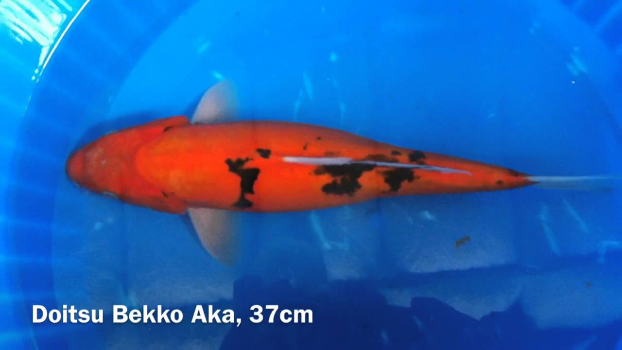 Doitsu bekko aka 37cm youtube for Orange and black koi