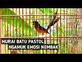 Murai Batu Pastol Gacor Nembak Ampuh Buat Pancingan Emosi Murai Batu Lain  Mp3 - Mp4 Download
