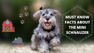 Get To Know Your Dog's Breed: Miniature Schnauzer Edition