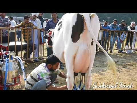 Milking machine for HF cow at National Dairy Research Institute Karnal Haryana