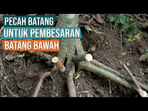 Pecah Batang Untuk Pembesaran Batang Bawah dan Program Akar Bonsai Preh/Iprik