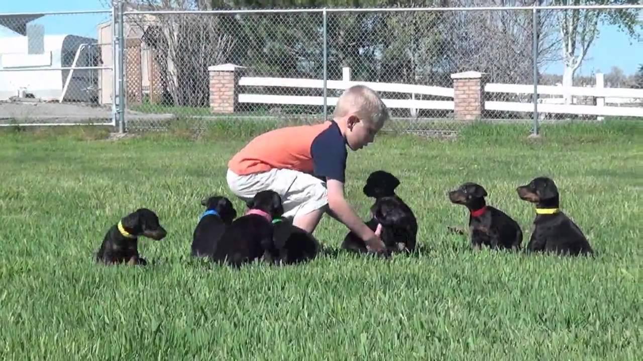 Little Boy Little Dogs Doberman Puppies By Obi Wan