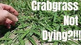 DIY how to kill crabgrass.My crabgrass is not dying.How to prevent and control crabgrass