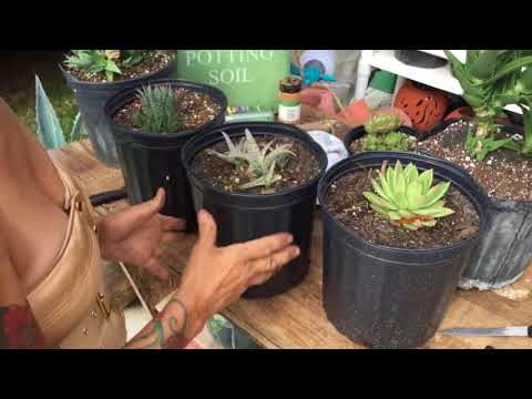 How To Propagate Agave Plants