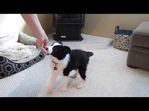 Very Smart Border Collie Puppy Tricks