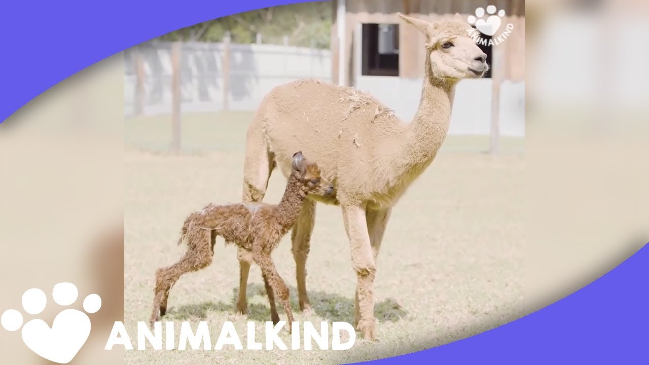 Proud Mama Alpaca Watches Baby Take First Steps | Animalkind