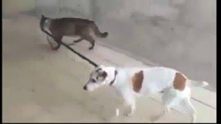 Кот выгуливает собаку, ничего особенного