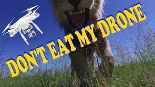 Lion Gets My Drone - DJI Phantom Fail