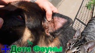 Гематома уха у собаки. Лечение гематомы уха. Советы ветеринара(Друзья, недавно лечил собаку у которой гематома уха, в ролике рассказываю по какой причине возникает гемато..., 2016-07-01T18:21:08.000Z)