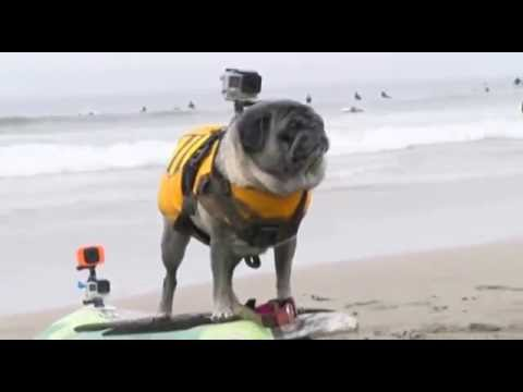 World Championship Dog Surfing Competition Highlights!