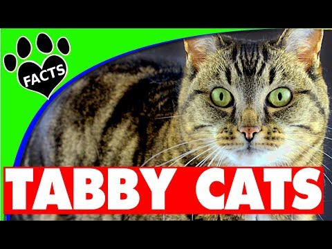 Cats 101: Tabby Cats - 10 Interesting Facts about Tabby Cats - Animal Facts