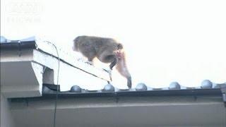 15日に名古屋市の東山動物園から逃げ出した雄のニホンザル「ムコドノ」...