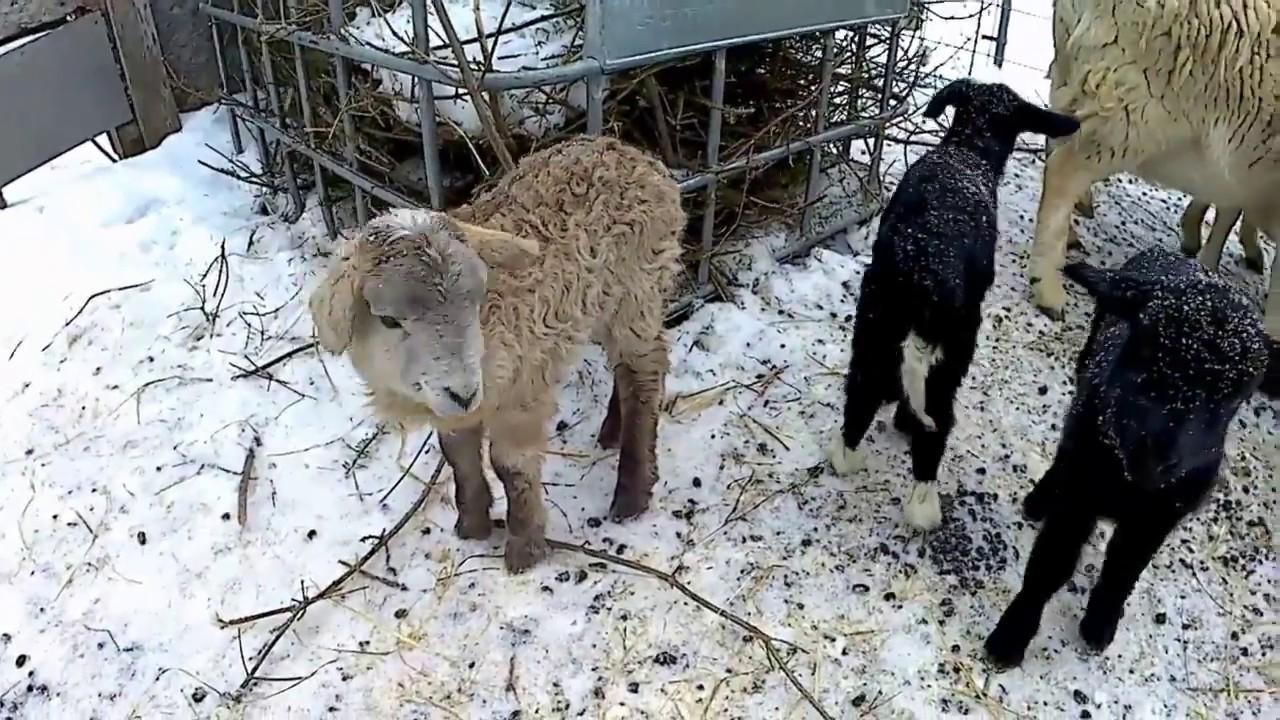 Katahdin hair sheep 4 lambs Born 1/26/2018 Finally some baby Ewes!
