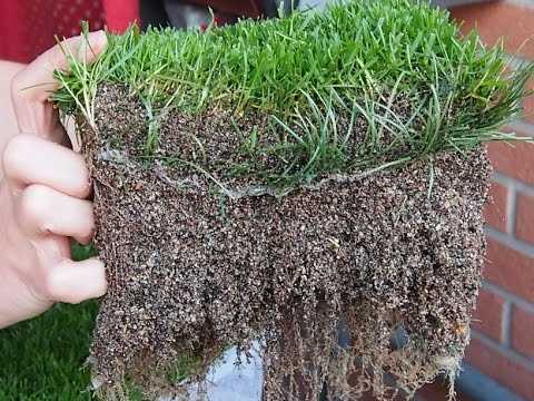 Hybrid Turf Grass Comparison Youtube