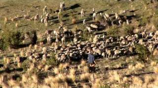 "Helicopter Mustering - ""sheep Station Nz"" Taster 08"
