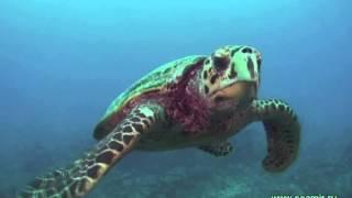 Любопытная морская черепаха