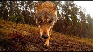 Wilk atakuje kamerę   Wolves attack camera ;)