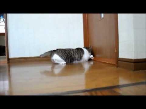 ドアに体当たりする猫