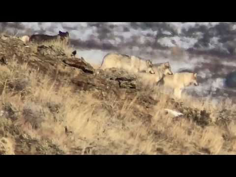 Wondrous Wolves of Yellowstone
