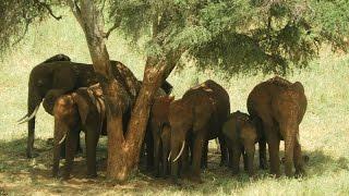 Social Behaviour of wild Elephants  td