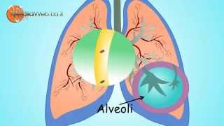 RESPIRATORY SYSTEM (Breathing) for Kids  By MediaWeb.co.il