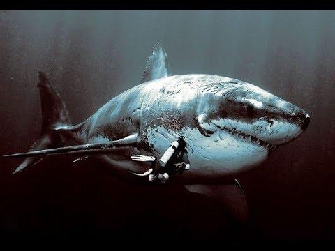 Самые большие пойманные акулы в истории