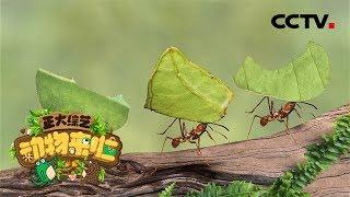 [正大综艺·动物来啦]选择题:是什么阻挡了蚂蚁原本前进的方向?  CCTV