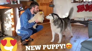 Husky Meets The Cutest Chow Chow Puppies & They Think She's The Mum!!! [CUTEST REACTION EVER!!]