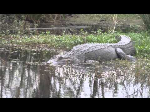 Big gator on side of the road I-10 New Orleans louisiana