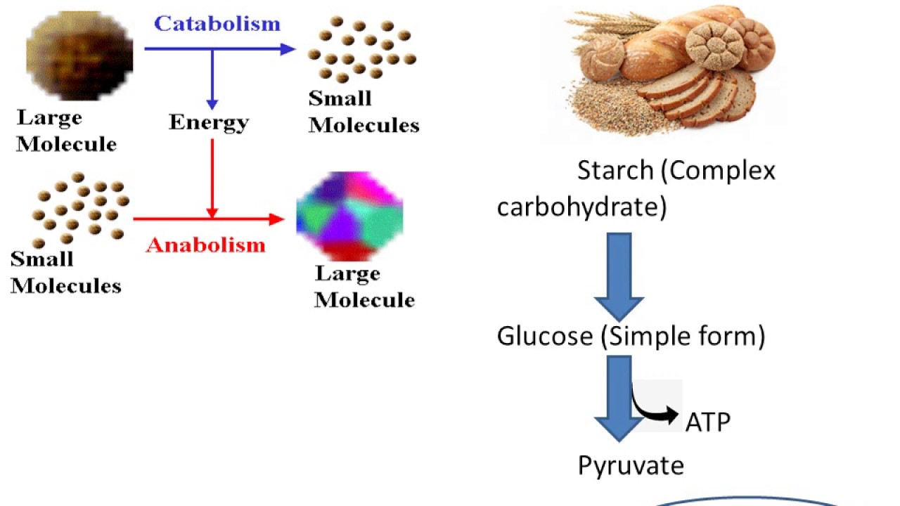 Download Basics of Human Nutrition PART 1 (Learn from basics)
