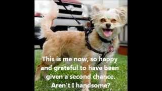 Silky-Terrier-1.5y-puppy-Jordan-Adorable-Adoptable-Ken-Mar-Rescue-4-20-14
