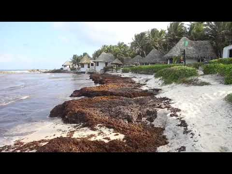 Mexican Caribbean hit by massive arrival of seaweed (again