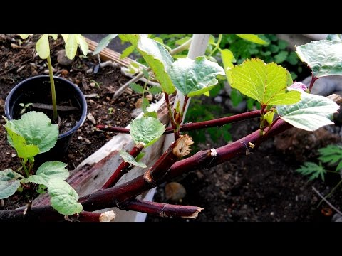 HOW TO SAVE YOUR ROSELLE/SORREL PLANT: Agrosuede Backyard Gardening