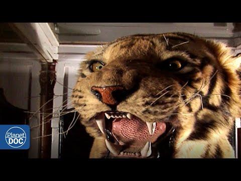 La Evolución En La Protección Del Tigre: Así Ha Sido En Los últimos Tiempos...