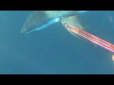 Brave Diver Fends Off Great White Shark