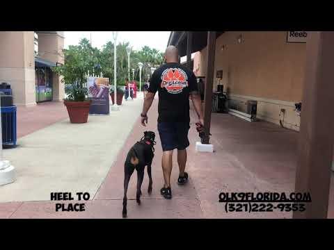 """1 year Old Doberman Pinscher""""Piper""""/ Dog Trainer/ Best Dog trainers Orlando"""
