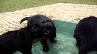 フラットコーテッドの子犬たち http://guretaparu.blog45.fc2.com/
