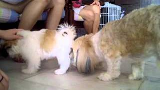 Puppy Shih Tzu Bullying Adult Shih Tzu