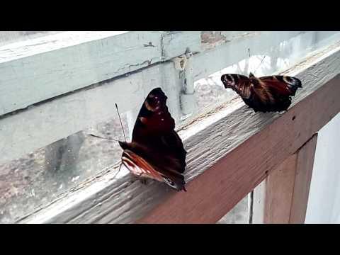 бабочки павлиний глаз
