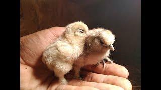 Inkubacja i młode kury silki 2019