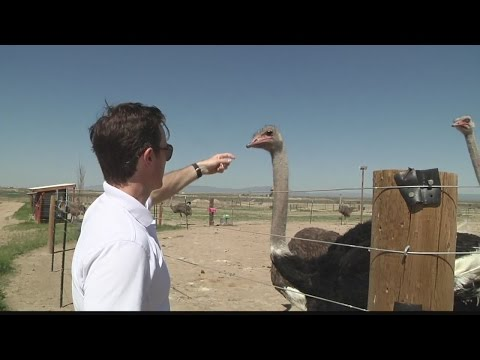 American Ostrich Farm is set to bring bird to your dinner plate
