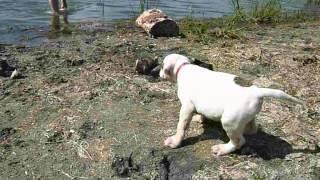 Американские бульдоги.На озере.
